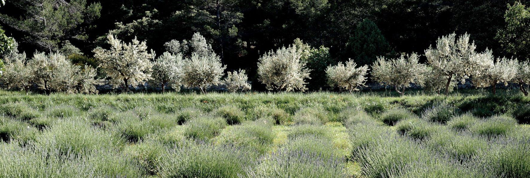 Lavande et oliviers © Dominique Laugé