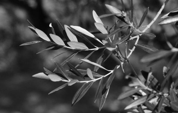 Feuilles d'olivier © Dominique Laugé