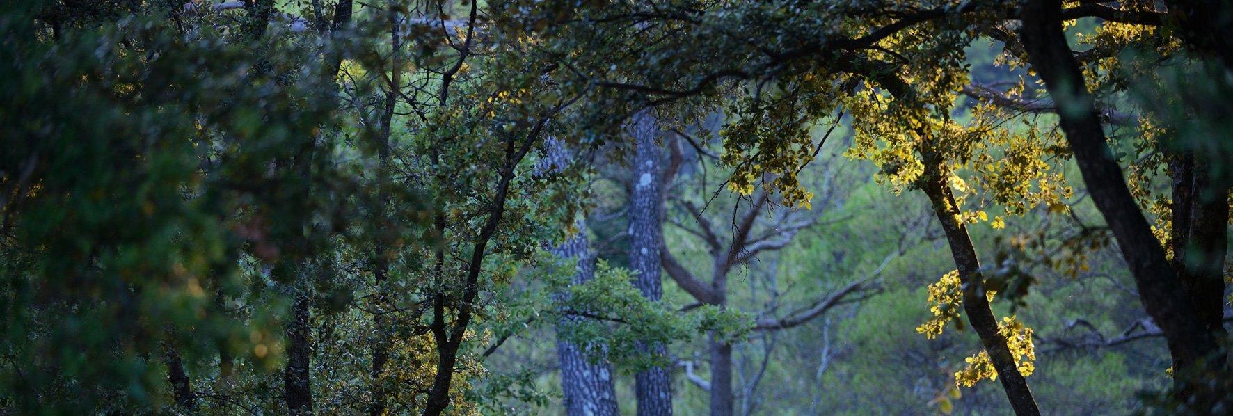 Pins bleus et herbes jaunes © Dominique Laugé